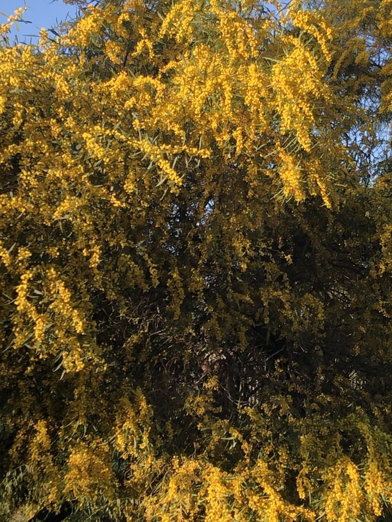 Spring wattle in bloom